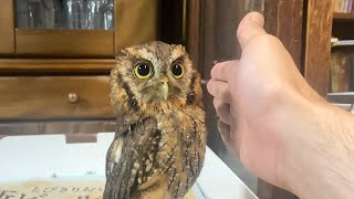 飛ぶフクロウ Flying owl