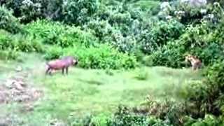 Video A mother  warthog save piglets download MP3, 3GP, MP4, WEBM, AVI, FLV Agustus 2018