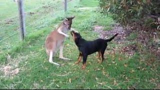 Il Canguro e il Rottweiler...