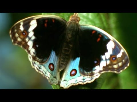 Facts About Butterflies 🦋 - Secret Nature | Butterfly Documentary | Natural History Channel