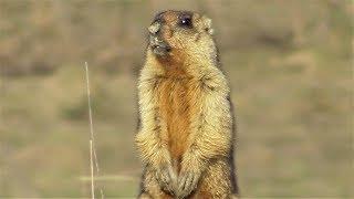 Сурок байбак. Утомительная перекличка. ( Marmota bobak )