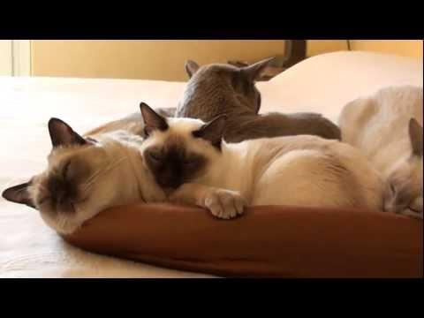 TONKINESE CATS: (La Gang di casa)