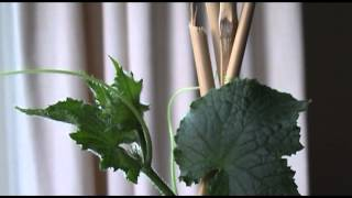 Cucumber Growth Time Lapse Video