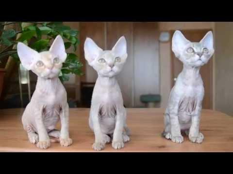 Девон- породы кошек Девон-рекс. Характер