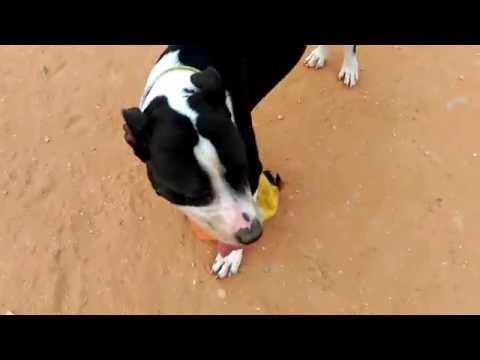 Great dane pitbull mix vs pitbull
