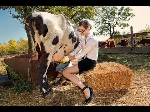 Почему у коровы постоянно идёт молоко причины по которым у коровы течет молоко из вымени
