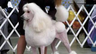 Akc Beautiful White Standard Poodle At Kansas Dog Show