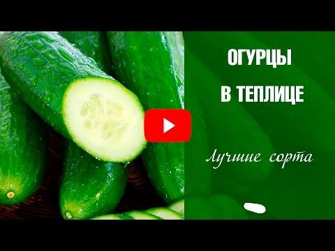 Сорта огурцов для теплиц 🌟 Выбираем лучшие семена
