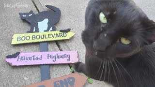 Boo Day 55 - Boo Boulevard - Training And Socializing A Feral Cat thumbnail