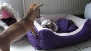 2 Chihuahua`s lernen sich kennen.mp4