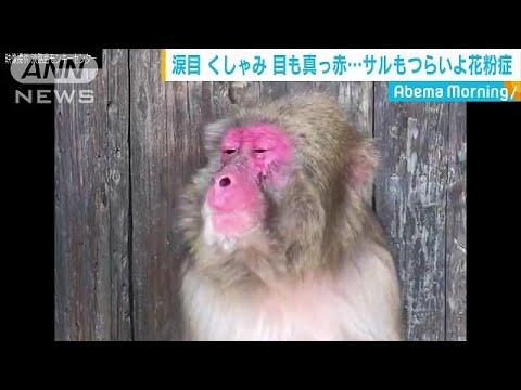 サルも花粉症「何とかして・・・」
