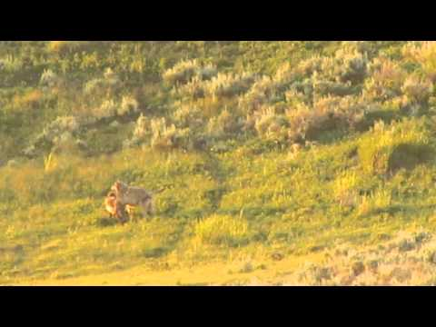 Yellowstone Wolves of the Lamar Valley