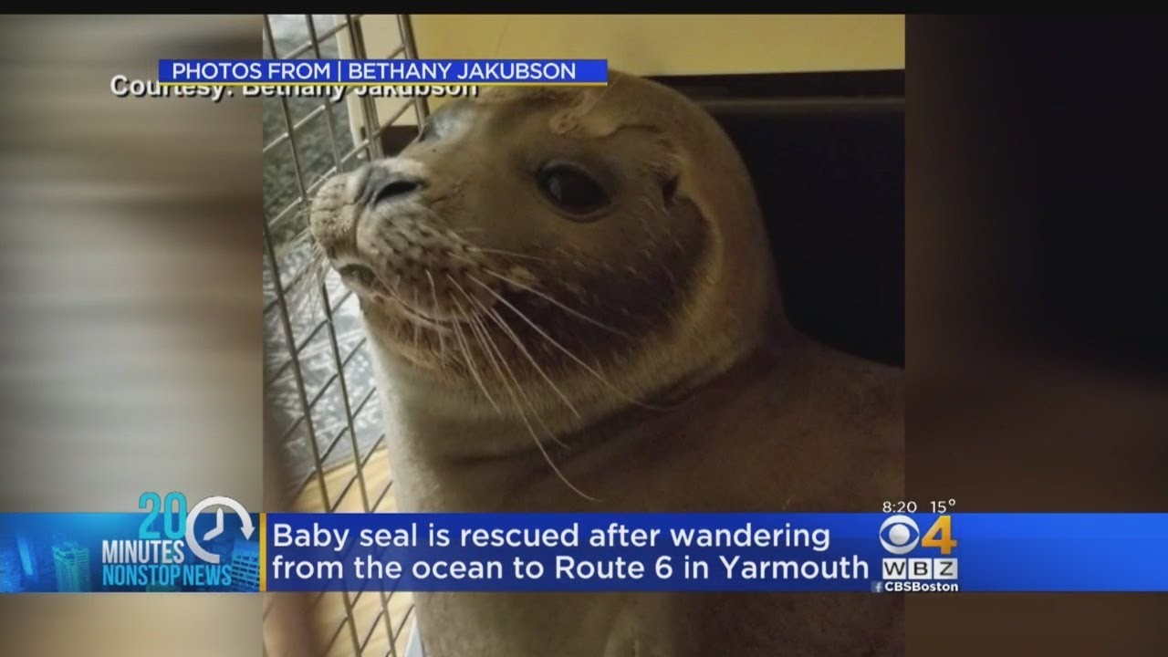 Baby Seal Found Wandering On Busy Road Youtube