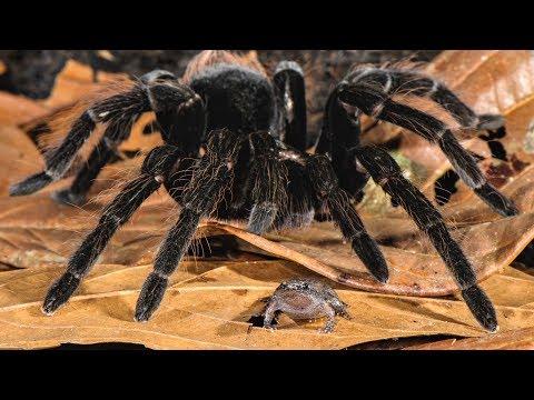Amazon Spiders