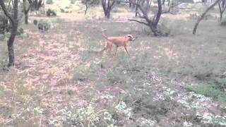 Hunting For Shed Antlers With A Lacy Dog