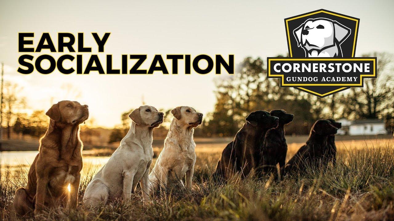f9e1c8938e0ba How to Properly Socialize a Puppy - Labrador Retriever Puppy Training.  Cornerstone Gundog Academy