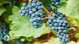 378 Виноград – как лечебное средство при анемии