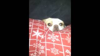 Japanese Chin Dog Stuck Hiding In Couch
