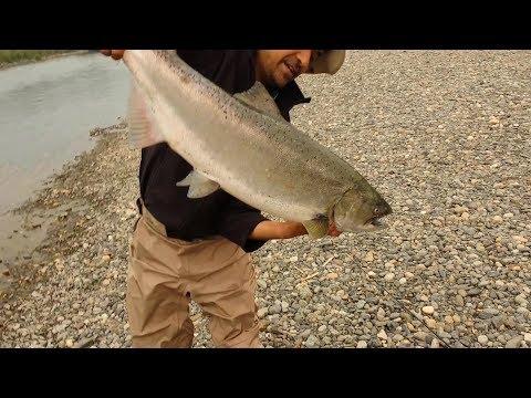 Chinook Salmon Chilliwack Vedder River
