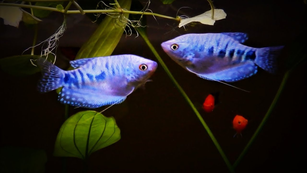 Opaline Blue Gourami Care Tank Set Up Guide Youtube