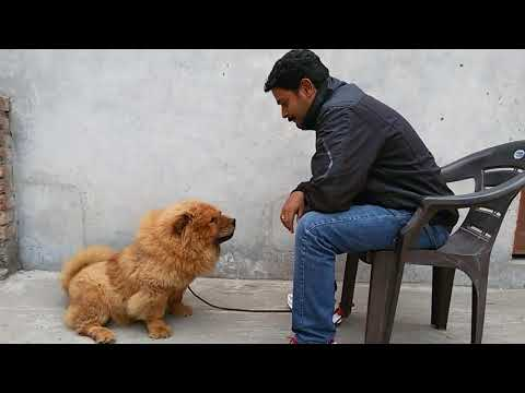 Chow Chow-The Lion Dog Training