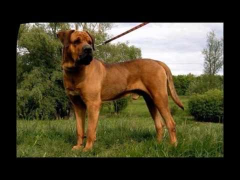 The best guard dogs (Top 30)