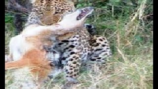 Leopards Attacking Pet Dogs!!!