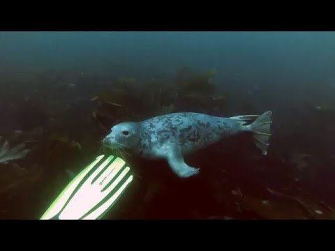 Diving with the seals of the Blasket Islands, Dingle-Peninsula, Ireland