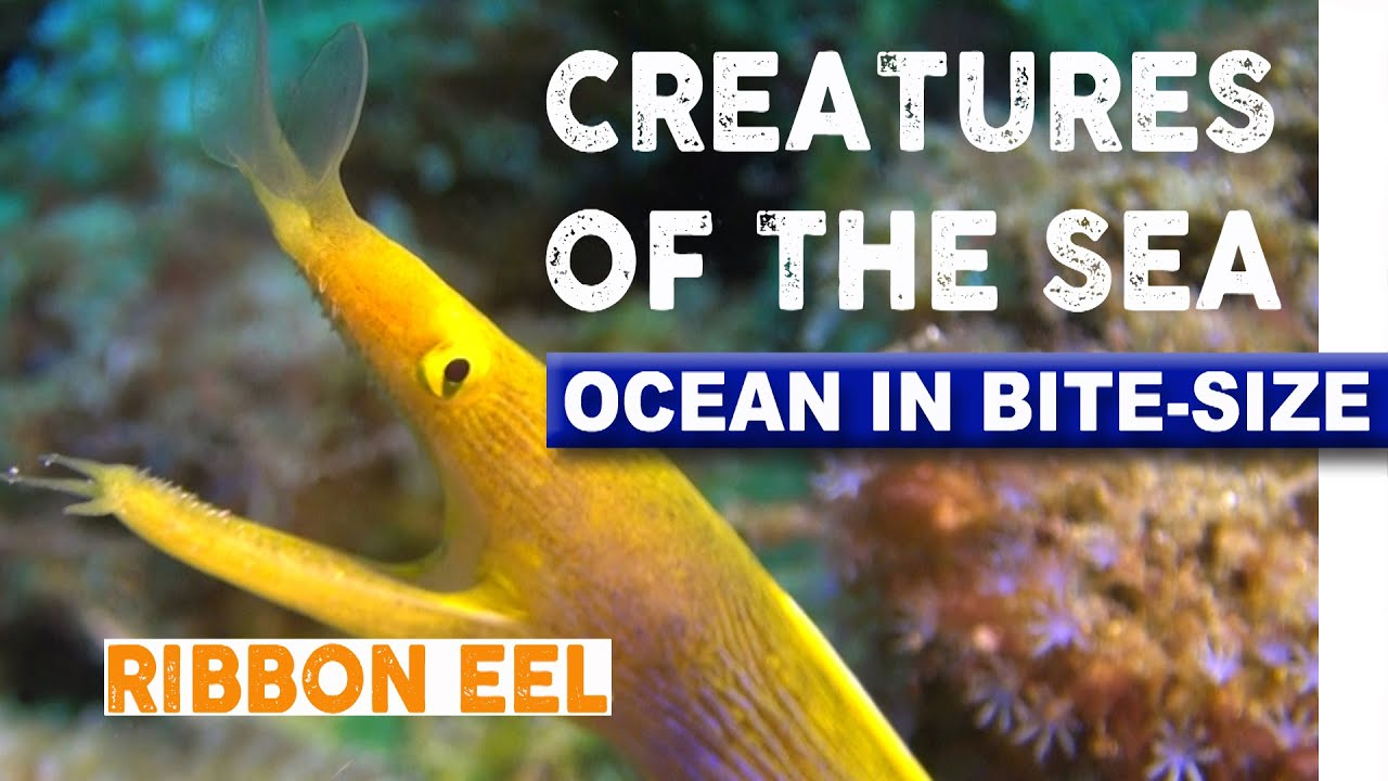 creatures of the sea color changing ribbon eel youtube