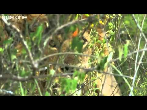 Our Wiki World- The Perfect Moment Funny videos -3 African Men Vs 15 Hungry Lions.flv