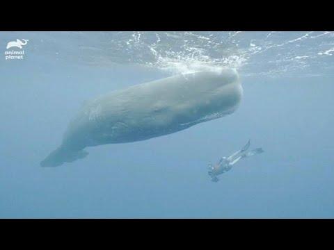 فيديو نادر لحوت العنبر الكبير في البحر الكاريبي  - نشر قبل 11 دقيقة