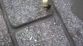 Cicada wasp vs. Cicada part 1