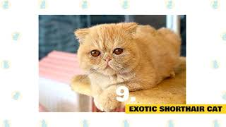 Cats 101   Best Cat Breeds for Cuddling