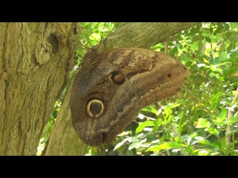 para-que-sirven-los-ocelos-que-parecen-ojos-en-las-mariposas-búho-naturaleza