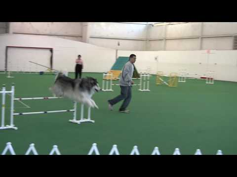 2009 Alaskan Malamute Nationals Agility - Fast