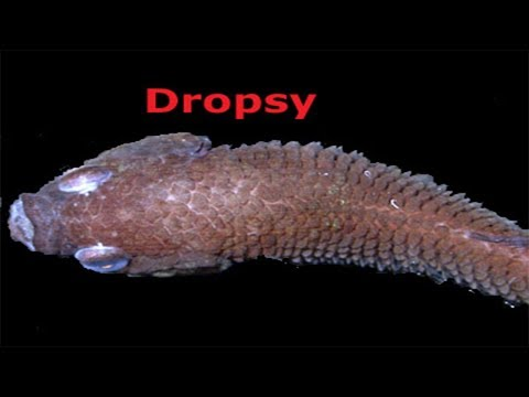 Disease In Aquarium Fish In Hindi(Dropsy, Red Patch, Scale Protrusion, Tail Rot And Many More)