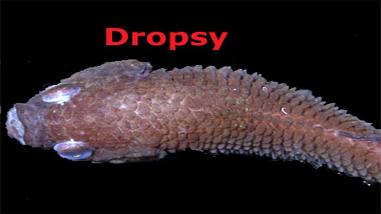 Disease in aquarium fish in hindi dropsy red patch scale for Fish scale disease