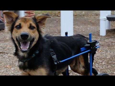 How the Internet Saved the Life of a Paralyzed Dog