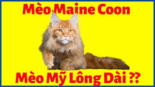 Mèo Maine Coon GIÁ bąo nhiêu tiền? Mua ở đâu tại Hà Nội, TpHcm, Thuần Chủng, Có Giấy Tờ