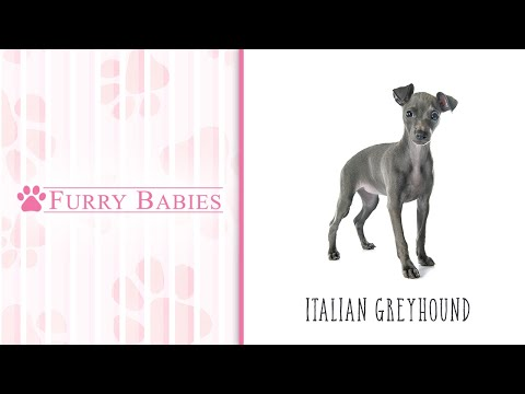 Is the Italian Greyhound the right breed for you?
