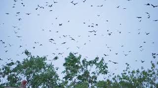 BATS EVERYWHERE!!! Kumasi During Sunset - Ghana - Africa