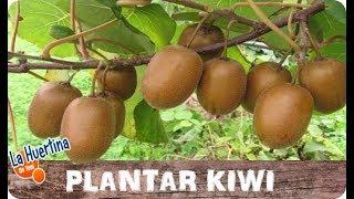 Como Plantar Kiwi En Casa Fácil || Cultivo Casero || La Huertina De Toni