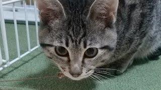 生後4ヶ月半の猫のビビの遊んでいる姿がヤンチャ過ぎました。【生配信】