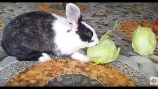Cute Rabbits Eat Kohlrabi