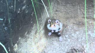 Хомяк обыкновенный в Хакасии, дикий хомяк.