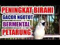 Tirbet Terapi Pemancing Birahi Agar Sirtu Cipoh Ngetir Ngotot Gacor Bermental Petarung  Mp3 - Mp4 Download
