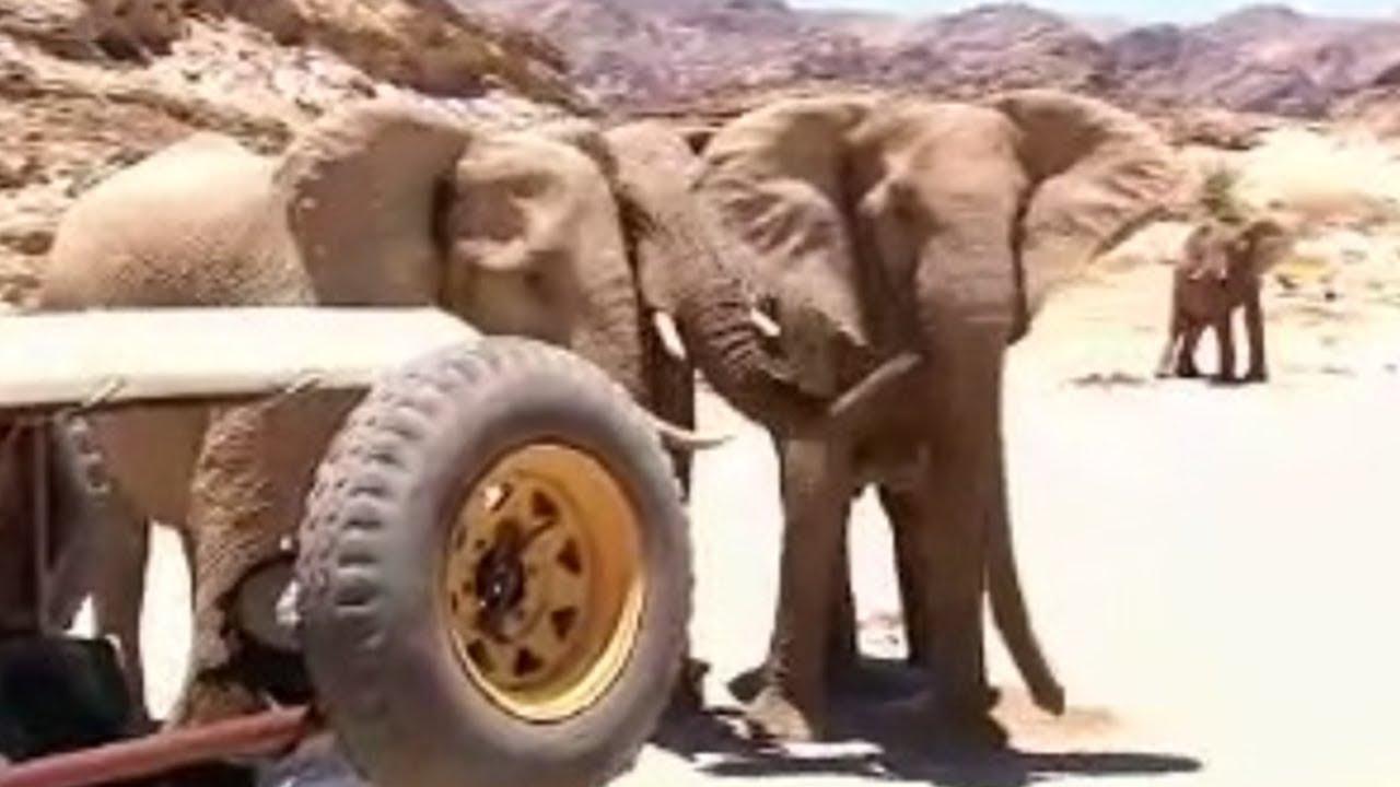 Namibian elephant memory - extreme animals - BBC wildlife