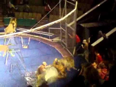 VnExpress   Sư tử tấn công huấn luyện viên   Su tu tan cong huan luyen vien
