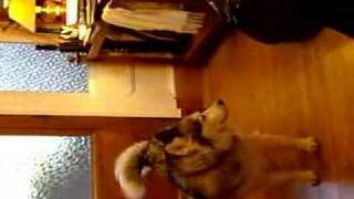Kira Siberian Husky talking in aberdeenshire scotland.