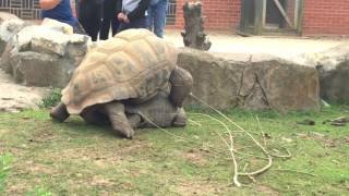 How tortoise make love and making a funny load noise